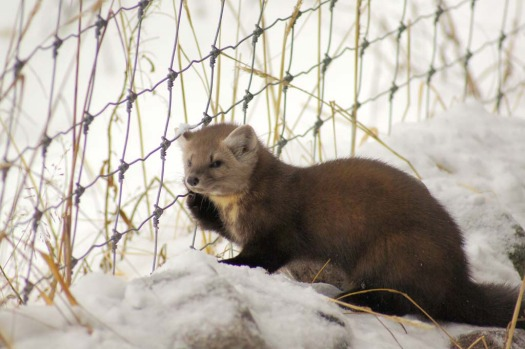 A wood marten ... one of Seal River Lodge's non-human residents.