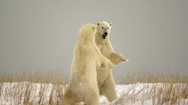 Fighting or dancing? Two polar bears face off.