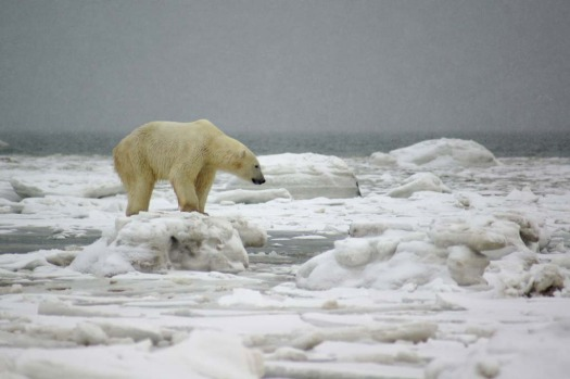 The polar bears wait for the bay to freeze before heading out on to the ice to hunt seals. The impact of climate change ...