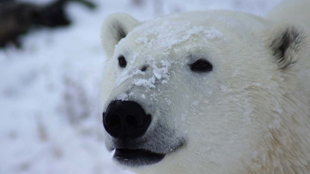 Close encounter ... a polar bear, nicknamed 'Scarface' for the scar on his nose, gets up close at Seal River Lodge.