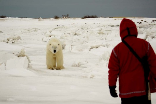 Polar bear's death stare ... guide Andy confronts a polar bear as it gets close to our group.
