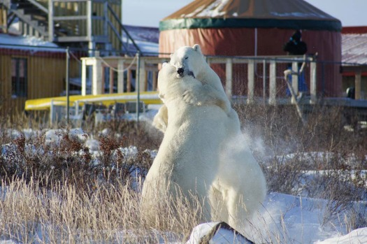 'Hollywood Bob' and 'Scarface' clash outside the Seal River Lodge.