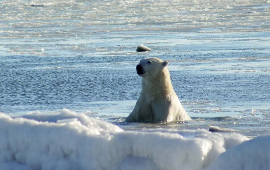 A polar bear cools off in Hudson Bay at Seal River Lodge, north of Churchill, Manitoba. The bears fur and hide insulates ...