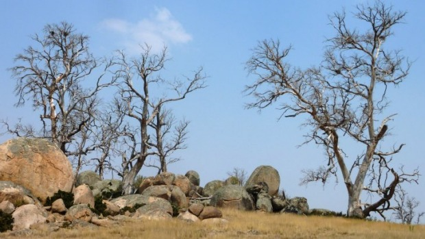 A typical vista of dead trees in the Monaro