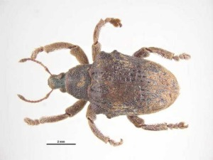 Close-up of the Eucalyptus weevil