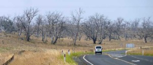Dead trees along the highway between Cooma and Jindabyne