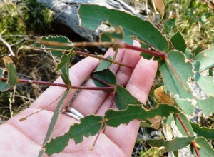 Trail of destruction: a Eucalyptus weevil makes light work of some new growth