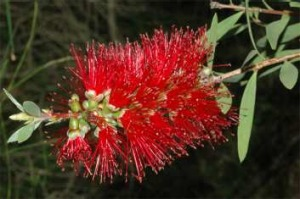 Over 5000 crimson bottlebrush were planted on Red Hill 1917 – early 1920's