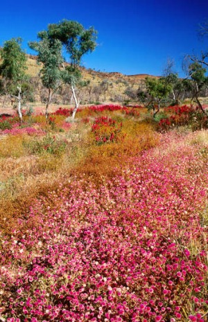 Bloom with a view … native wildflowers in WA.