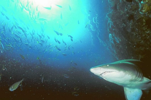 The experience: Diving among grey nurse sharks on