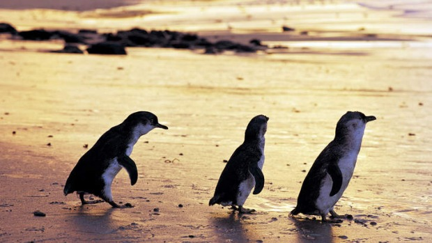 Penguins at sunset on Phillip Island.