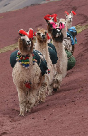 Every step you take: llamas at work.