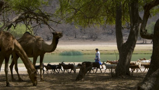 Camels and goats rest in a wadi.