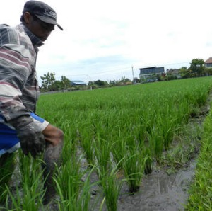 Nengah Daryana on his family farm north of Kuta.