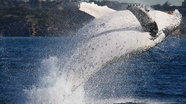 Drawcard: A humpback whale breaches off the Sydney coast. The rise in numbers is attributed to the ending of commercial ...