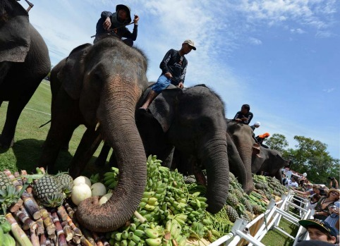 Elephants eat fruit during a fruits buffet as part of the annual King's Cup elephant polo tournamen.