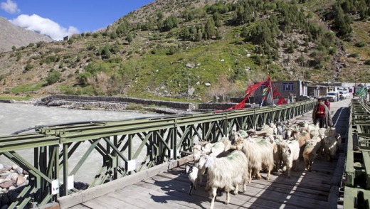 Goat herd crossing a road bridge at Darcha.