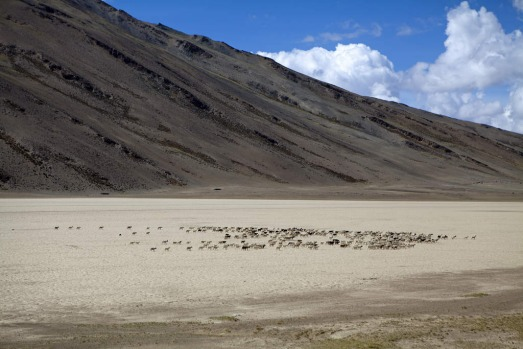 A goat herd crosses a salt pan beside the Manali-Leh highway.