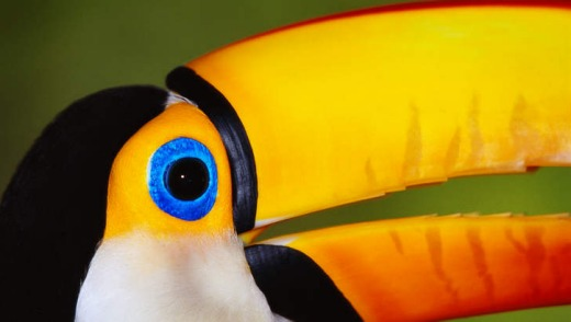 A toco toucan in the Pantanal.