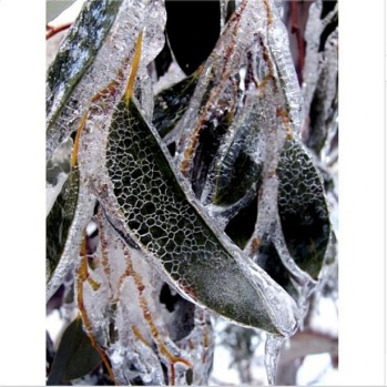 Icy gum leaves.