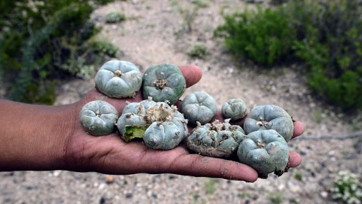 'Like a fruit, fleshy but very bitter' ... heads of peyote at the desert near the town of Real de 14, in San Luis Potosi ...