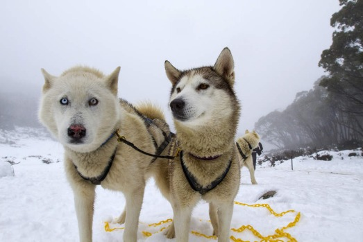 Snow dogs are harnessed at Mount Baw Baw Alpine Resort.