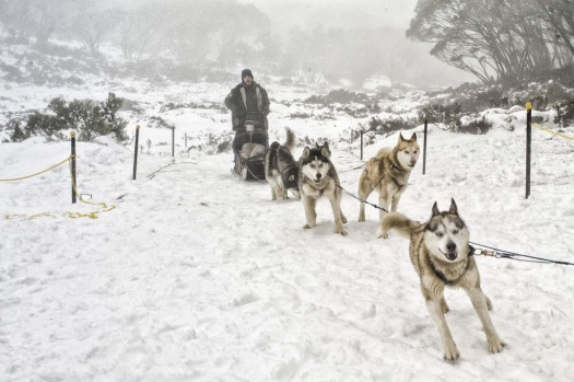 Snow dogs at work on Mount Baw Baw, where the current natural snow depth reached 14 cm.