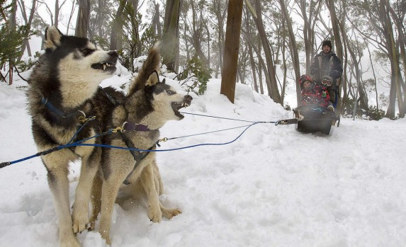 Snow dogs take people for a ride at Baw Baw.