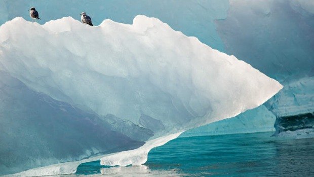 Just looking: A pair of herring gulls on an iceberg.