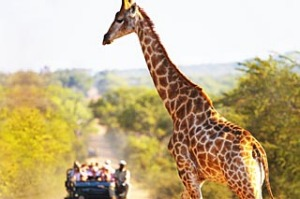 shd travel september 22 cover edit safari CORBISKruger National Park, South Africa --- A giraffe crossing a road with a ...