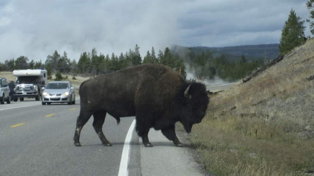 Why did the bison cross the road? No one told it that Yellowstone had been closed to tourists.