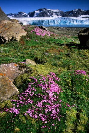 Moss campion blooming in front of 14th of July Glacier, Spitzbergen Island, Norway.