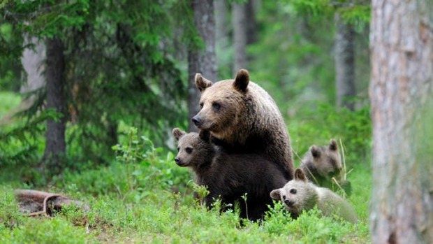 Playtime: A brown bear family in the Karelian woodlands of eastern Finland.