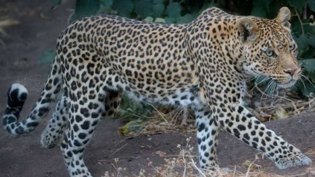 Leopard roams the African landscape. Photo: Iconic Images