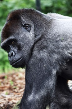 """A new male gorilla """"Kibali"""" has moved into Taronga Zoo after the retirement of Kibabu, the old silverback."""