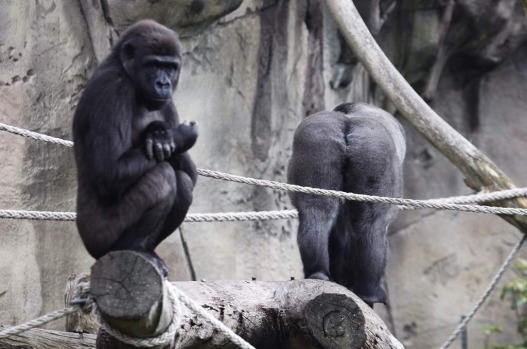 """A new Male Gorilla """"Kibali"""" has moved into Taronga Zoo after the retirement of Kibabu , the old silverback. Kibali turns ..."""