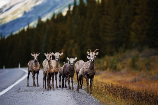 Mountain sheep, Alberta, Canada.