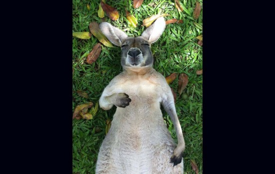 """1. Kangaroo Bob, September 3, 2013. 195,404 likes. """"Bob's had a lot on his mind lately, so he took some time out to ..."""