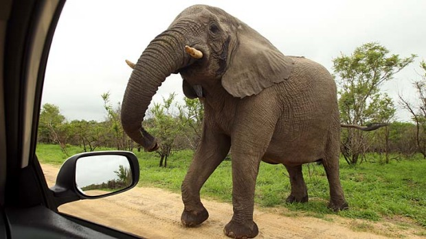 An elephant in Kruger National Park, South Africa. A bull elephant has been put down after attacking tourists in their car.
