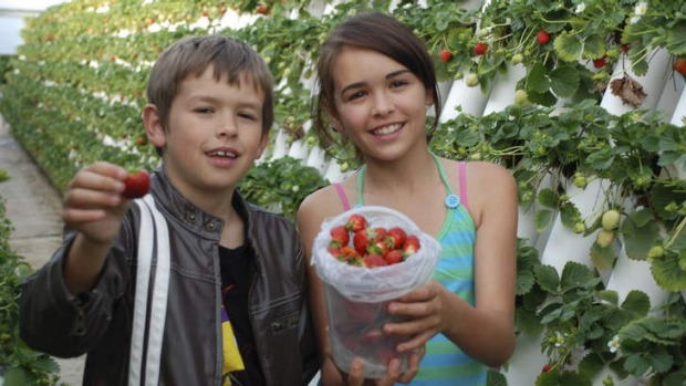 Stop for fuel: Pick your own strawberries at Ricardoes Tomatoes.