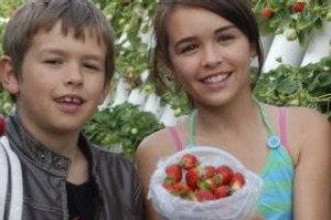 Stop for fuel: pick your own strawberries at Ricardoes Tomatoes