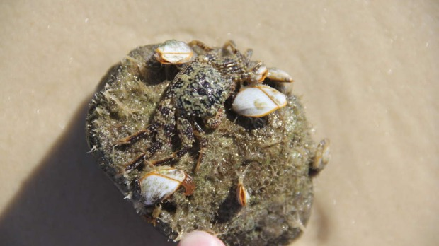 Stowaway ... A crab on a pumice stone.