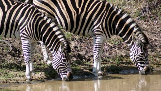 7. Take lots and lots of photos of zebras in Africa.