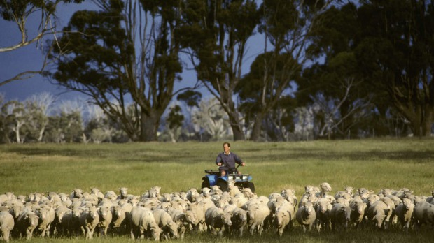 Herding sheep on a sheep station in Tasmania.