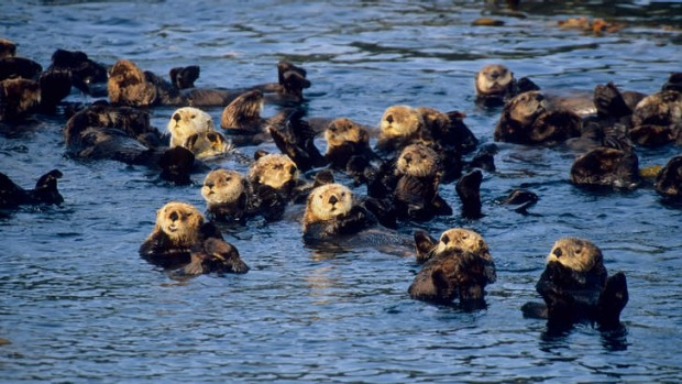 Floating cradle: Sea otters are some of the most attentive nurturers on the planet and some pups will stay with their ...