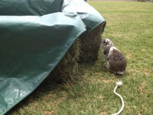 Beware of your pet rabbit eating your pool.