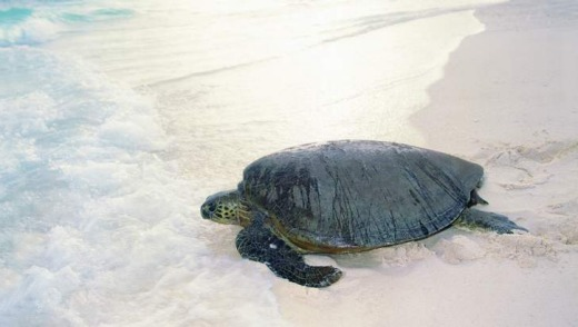 A turtle at Wilson Island.