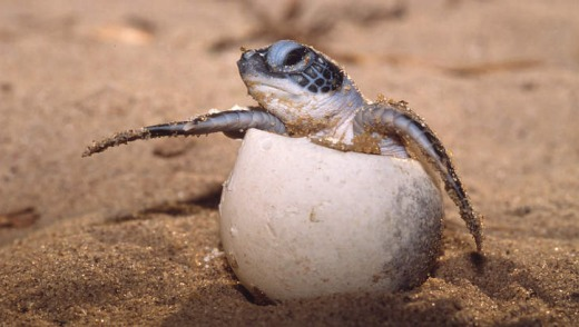 A leatherback turtle hatches.