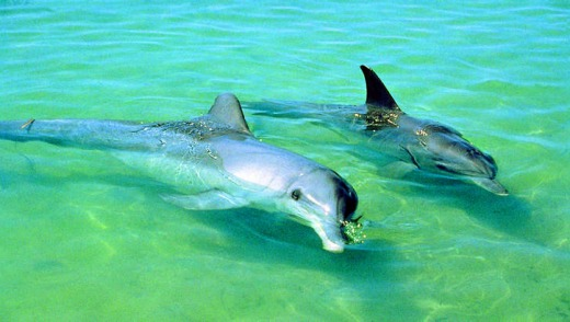 Dolphins at play at Port Stephens.