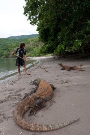 Komodo dragons on the beach, under the watchful eye of a guide.